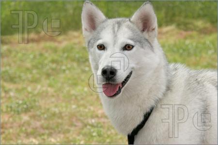 Σκύλος ράτσας χάσκι στο μοσχάτο